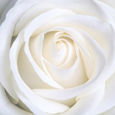 white_roses_picture